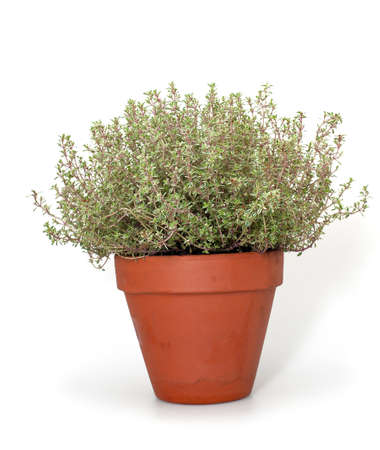 thyme in clay pot isolated on white background photo