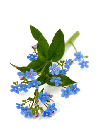 forget-me-not flower over white photo