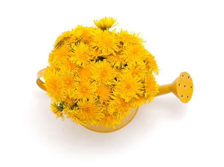 dandelions in a watering can isolated on white background photo