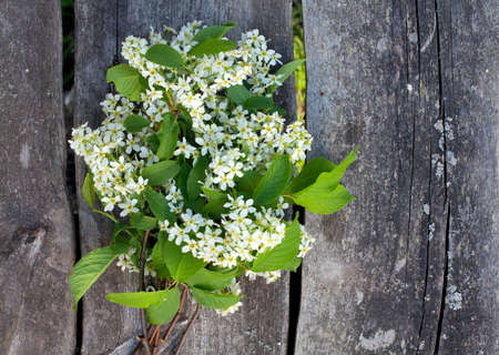 blossom of bird cherry on garden table photo