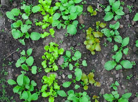 lettuce and radishes growing photo