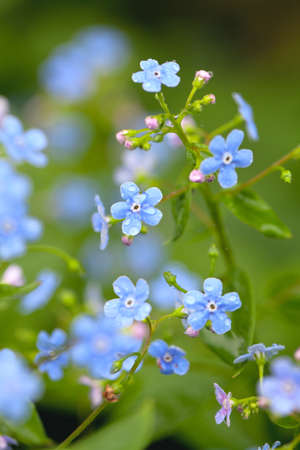 forget-me-not flowers after the rain photo