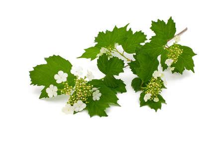 guelder: guelder rose,  Viburnum isolated on white background