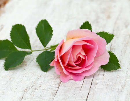 pink rose on white wooden background photo