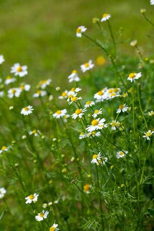 chamomile growing photo