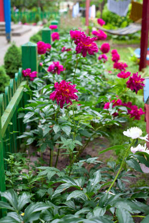 peonies growing along the green fence photo