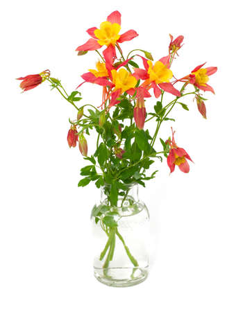 pink columbine: orange and yellow columbines isolated on white Stock Photo