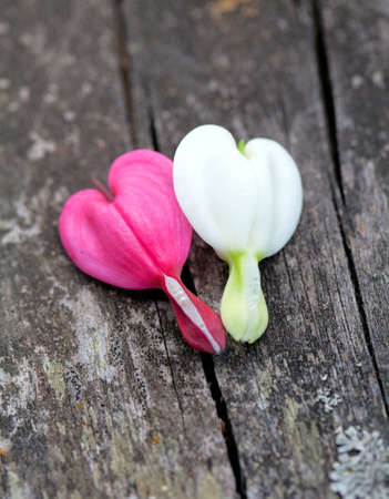two bleeding heart flower on wooden background photo
