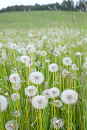 white dandelions on field photo