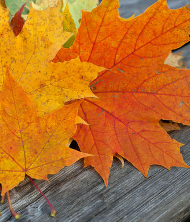 autumn maple leafs on wooden background photo