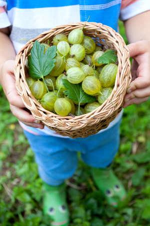 gooseberries: little boy picking gooseberries