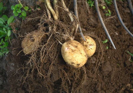 dug out potatoes photo