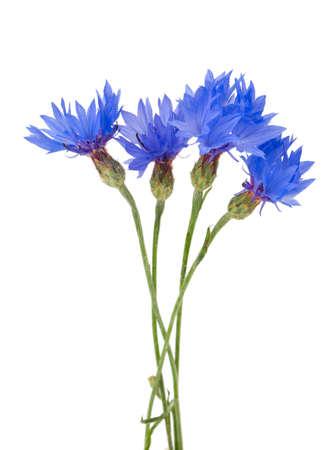 centaurea: cornflowers isolated on white background
