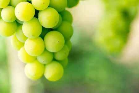 green grapes growing photo