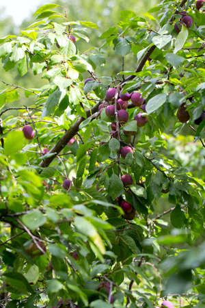 plums growing photo