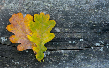 two oak leaf on wooden surface photo