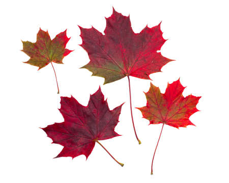 maple leafs over white photo