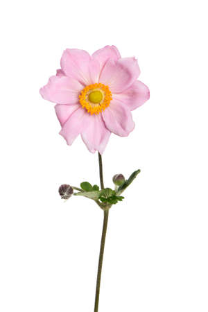 pink japanese anemone flowers Stock Photo