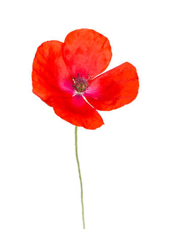poppy flowers: red poppy isolated on white