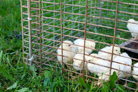 chicken cage: chicken babies in cage on grass