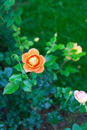 growing roses photo