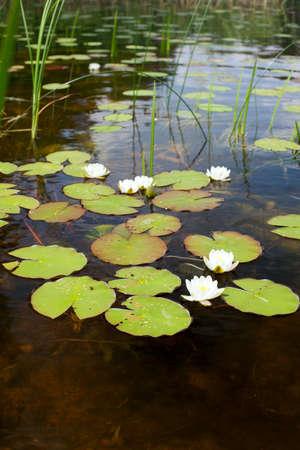 plenitude: water lilies