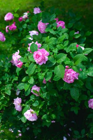La culture des roses Banque d'images - 23088301