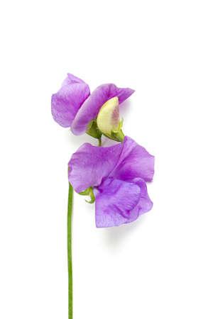 leguminosae: lilac sweet pea isolated on white