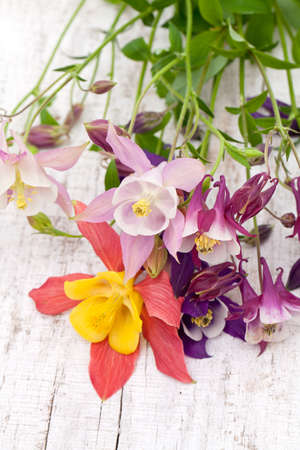 columbine flowers of different colors on wooden background photo
