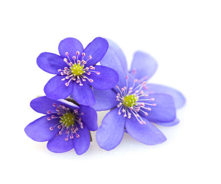 hepatica: hepatica nobilis isolated on white background Stock Photo