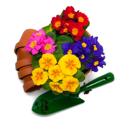 primula flowers, ceramic pots and shovel isolated on white  photo
