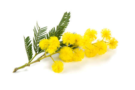 mimosa  isolated on white background Archivio Fotografico