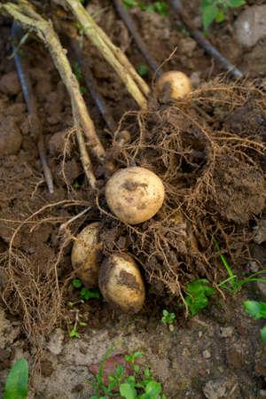 dug out potatoes photo