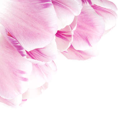 beautiful pink tulips over white