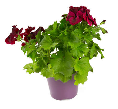 beautiful geranium flower in a pot over white photo