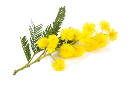 mimosa  isolated on white