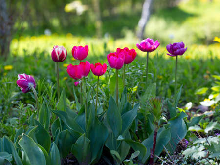 tulips growing photo