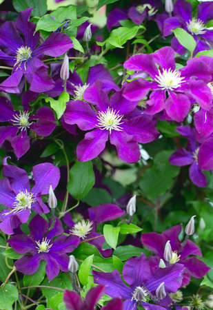 clematis flower: beautiful clematis flower
