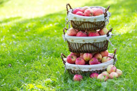 apples in basket outdoor photo