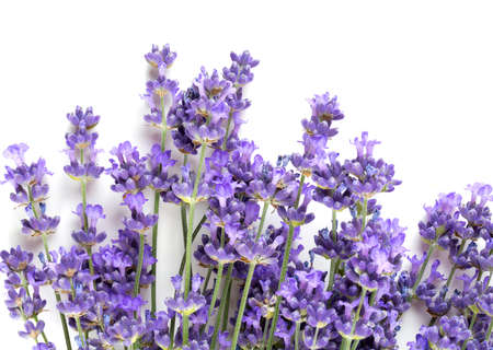 bunch of lavender isolated on white Stock Photo