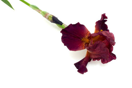brown iris isolated on white background photo