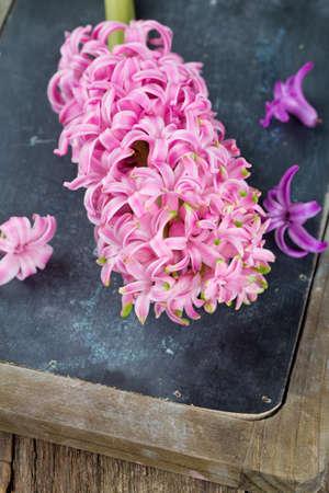 hyacinth: hyacinth on chalk board