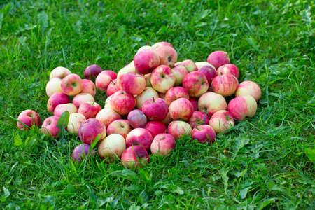 tree farming: heap of apples outdoor Stock Photo