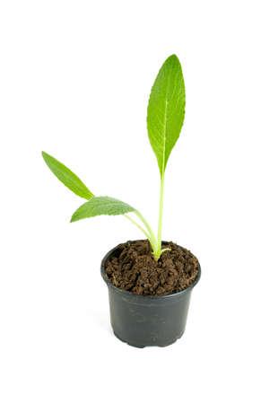 artichoke: artichoke seedling Stock Photo