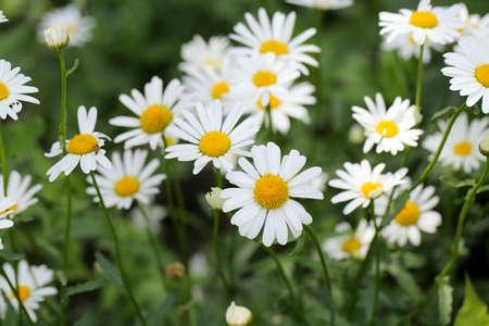 white daisies: white daisies