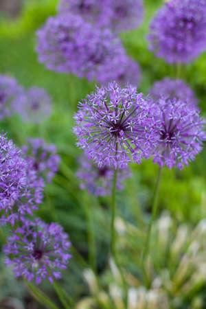 herbaceous border: growing alium flowers