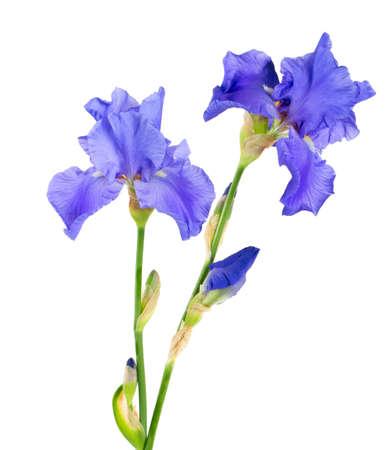 flor violeta: azul flor de iris aislado en blanco