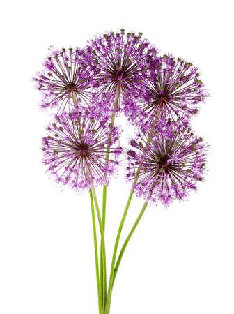 alliaceae: alium flowers isolated on white