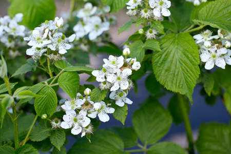 brambleberry: blooming blackberry bush