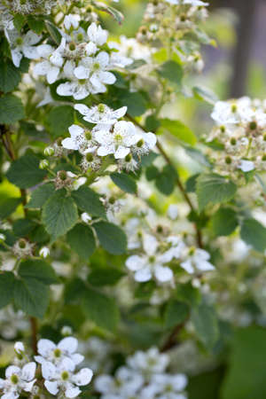 blackberry bush: blooming blackberry bush